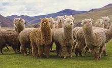 Alpaca Gruppe